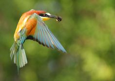 Flying bee-eater by Marc Costermans, via 500px