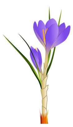 Spring Crocus PNG Clipart Picture