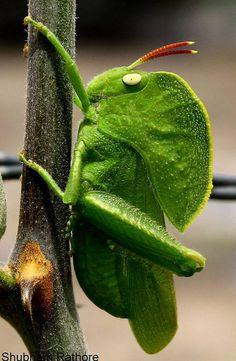 Hooded grasshopper, Teratodes monticollis, native to India and Sri Lanka