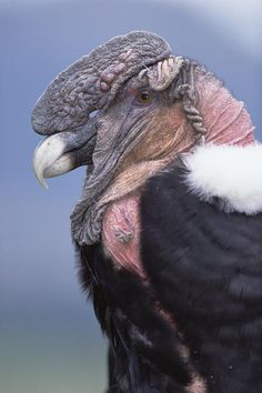 """Andean condor: """"The only vulture to occur in the Andes is the huge Andean condor, which has become emblematic of the region. Like all vultures, this bird is a scavenger, with a naked head and short bill designed for eating carrion."""" Peruvian Wildlife www.bradtguides.com"""