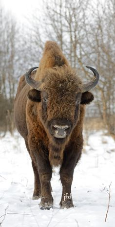 European bison (Bison bonasus), also known as wisent (/ˈviːzənt/ or /ˈwiːzənt/) or the European wood bison, is a Eurasian species of bison. Cute Creatures, Beautiful Creatures, Animals Beautiful, Large Animals, Cute Animals, European Bison, Fargo North Dakota, Victoria Principal, American Bison