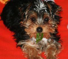 Baby yorkie puppy. Little Bear
