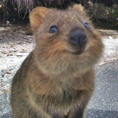 The quokka may be the cutest animal youve never heard of. Theyre found only in the southwestern part of Australia where there are only about 20000 in the wild. The quokka is about the size of a cat or rabbit with a long skinny tail that sometimes get the quokka mistaken for a rat. But once you see their big black noses and smiling mouths you wont think quokkas look ratty at all. Quokkas are actually more closely related to Australias famous animal the kangaroo. Quokkas especially the ones on…