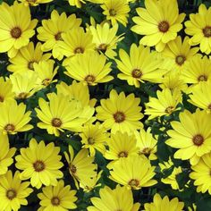 African Daisy Seeds - Yellow ,Perfect for garden or container.100 seeds !