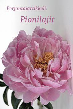 """Viikko 6: Perjantaiartikkelissa on aiheena eri pionilajit. Mitä tarkoittaa """"laji"""", kun puhutaan kasveista? Mitä pionilajeja on olemassa? Näihin kysymyksiin saat vastauksen tässä viikon pääartikkelissa. Ja hei: tosi kivaa olisi jos laittaisit artikkelin perään vähän tietoa siitä, mitä pioneita omasta pihastasi/ puutarhastasi löytyy! Rose, Flowers, Plants, Pink, Plant, Roses, Royal Icing Flowers, Flower, Florals"""