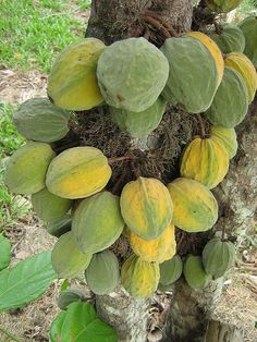 Wild Cacau tree-Theobroma speciosum (Cacaurana ), a cacao relative producing fruits with a tart-sweet pulp