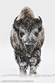 | earth-song: earthandanimals: Bison head on in...