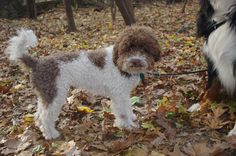 "italian water dog ""Lagotto Romagnolo"""