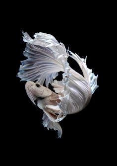 white petal by visarute angkatavanich on 500px