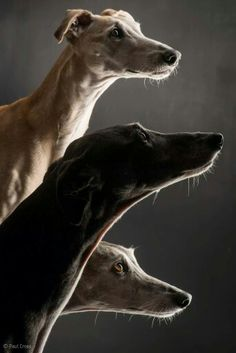 greyhound love  Order an oil painting of your pet now at www.petsinportrait.com