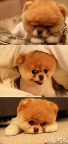 a teddy bear puppy!  Must have him.