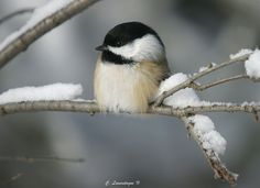 Chickadee's are so cute :)