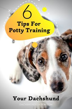 6 Tips For Potty Training Your Dachshund. How To Quickly Potty Train Your Dachshund. How To Stop Your Dachshund From Peeing Inside. dachshund puppy training // dachshund dog // dachshund puppies // mini dachshund // #dachshund Potty Training Tips, Training Your Dog, Crate Training, Puppy Pads, Dachshund Puppies, Mini Dachshund, Best Puppies, Small Dogs, Behavior