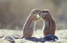 Image: Cape ground squirrel (© Nature Picture Library/Rex Features)