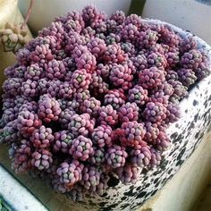 Succulent plants are generally green in color by nature. However, if you are interested to buy purple succulents then you ought to know more about them here. Succulent Landscaping, Succulent Gardening, Succulent Pots, Planting Succulents, Planting Flowers, Unusual Plants, Exotic Plants, Echeveria, Plant Of Life