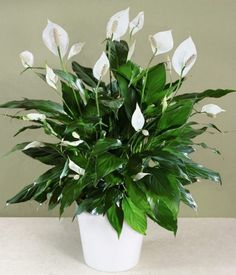 Of all the flowering house plants, Peace Lily care may be the easiest. Get tips for caring for peace lily plants, how to coax flowers, water and fertilize.