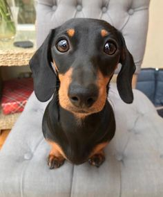 """See our internet site for even more details on """"dachshund puppies"""". It is an exceptional spot for more information. Dachshund Funny, Dachshund Puppies, Dachshund Love, Cute Dogs And Puppies, I Love Dogs, Dapple Dachshund, Dachshund Rescue, Dachshund Clothes, Dachshund Gifts"""