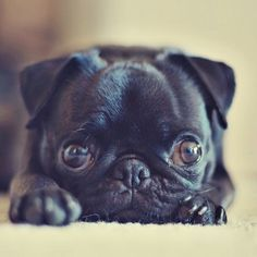 Pugs have the best little faces. I want a pug so bad. Black Pug Puppies, Cute Puppies, Cute Dogs, Dogs And Puppies, Terrier Puppies, Bulldog Puppies, Boston Terrier, Doggies, Baby Animals