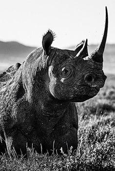 rhino by david yarrow Get your golf equipment at Golf USA. www.golfusa.co.za