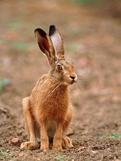 41. Hare paws * (gebruikt bij manden vlechten rechts achteraan) *