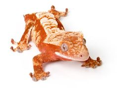 Are you a crested gecko fan? Check out our list of the coolest crested gecko morphs from red crested geckos to Dalmatian crested geckos!