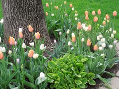 hosta and tulips - as the tulips die down, the hosta fills in