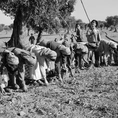Alentejo, olive harvest - by Artur Pastor - Portuguese Video Photography, Vintage Photography, History Of Portugal, Nostalgic Pictures, Old Paris, As Time Goes By, Visit Portugal, Tropical Vibes, Olive Tree