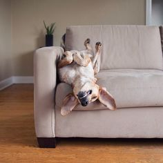 ❤ .. ❤ Oh just an upside down dog  HD: Every dog's dream:  The COUCH!!!!!