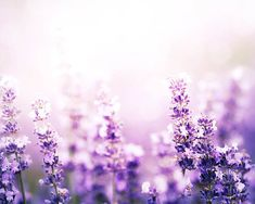 lilac photography lavender floral photography by mylittlepixels