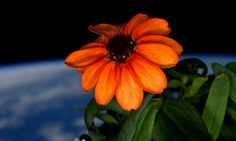 FIRST FLOWER IN SPACE HERALDS GIANT LEAP FOR ZERO-GRAVITY GARDENING