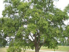 Ulmus parvifolia 'Drake'  / Ulmus parvifolia 'Drake'  - OnlinePlantGuide.com 9260