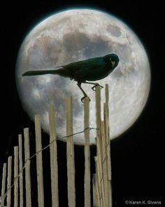 Full Moon and Crow Nocturne, Sun Moon, Stars And Moon, Atelier D Art, Shoot The Moon, Moon Shadow, Crows Ravens, Moon Pictures, Rabe