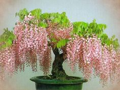 flowering bonsai ....