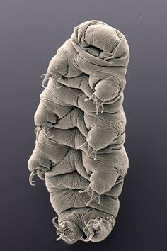 A scanning electron micrograph of a water bear. Like regular bears, tardigrades have claws, which help in locomotion. Unlike regular bears i...