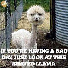 Shaved lama!