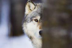 Killing Wolves to Keep Them From Killing Sheep Is Backfiring