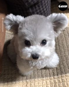 We are giving away the first 50 car . The post Adorable Mini Silver Poodle Puppy Looks Like A Teddy Bear appeared first on Dogs and Diana. Baby Animals Super Cute, Cute Baby Dogs, Cute Little Puppies, Cute Dogs And Puppies, Cute Little Animals, Cute Funny Animals, Cute Cats, Small Cute Puppies, Cute White Puppies
