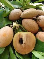 Sapodilla fruit                                                                                                                                                                                 Plus