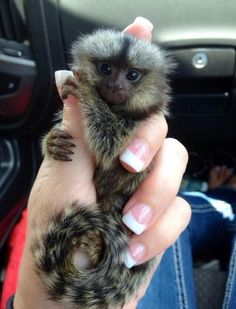 I love marmosets they're the cutest things ever!!!