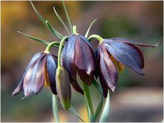 Fritillaria species O - P - The Fritillaria Group