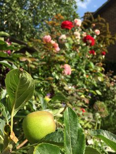 Apples in front of roses