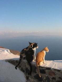 """my-sea-of-time: """" """" Santorini cats """" Enjoying the view with, ms-witchywebweaver and msexplorer . I Love Cats, Crazy Cats, Cool Cats, Animals And Pets, Baby Animals, Cute Animals, Beautiful Cats, Animals Beautiful, Beautiful Things"""
