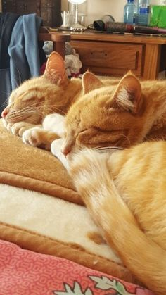 Two gorgeous orange tabby kitties, having a side-by-side snooze session. Kittens Cutest, Cats And Kittens, Ragdoll Kittens, Funny Kittens, Bengal Cats, Kitty Cats, I Love Cats, Crazy Cats, Photo Chat