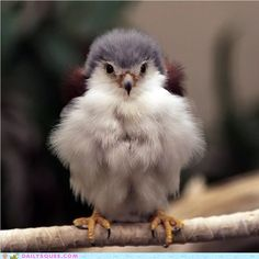 Falcons: Nature's perfect avian predators when fully grown, and nature's perfect itty bitty floofy birds when young.