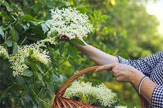 Bezový sirup za studena: Recept na šťávu plnou vitamínů! – Abecedazahrady.cz Kombucha, Herbs, Wreaths, Syrup, Liquor, Door Wreaths, Herb, Floral Arrangements, Flower Garlands