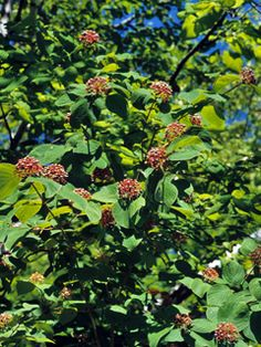 Cornus amomum (Silky dogwood)GROWING CONDITIONS Water Use: High  Light Requirement: Part Shade , Shade  Soil Moisture: Moist , Wet  CaCO3 Tolerance: Low  Soil Description: Clay, Loam, Sand