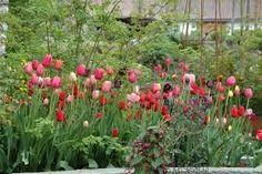 Bildresultat för silverpäron tulpaner