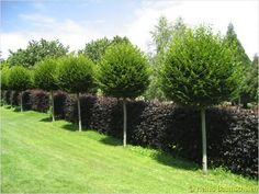 Schweizer Versand Baumschule The Effective Pictures We Offer You About low maintenance Landscaping A Outdoor Gardens, Backyard Garden Design, Garden Design, Backyard Landscaping Designs, Garden Hedges, Plants, Backyard Trees, Garden Trees, Backyard Landscaping