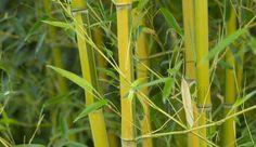 Quelles variétés de bambou choisir ?