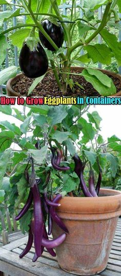 16. It is easy to grow eggplants in containers, you just need to look for a container that is at least 12 inches deep and 16 to 18 inches wide, then keep the container in a full sun and feed heavily.